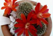 Rebutia minuscula /red flowers selection/- paket sadrzi 10 semenki