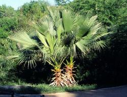 Seme drveća: Washingtonia filifera (2 semenki)