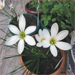 Perene: P334-Zephyranthes candida-1 sadnica