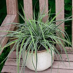 Trave: Carex oshimensis Everest